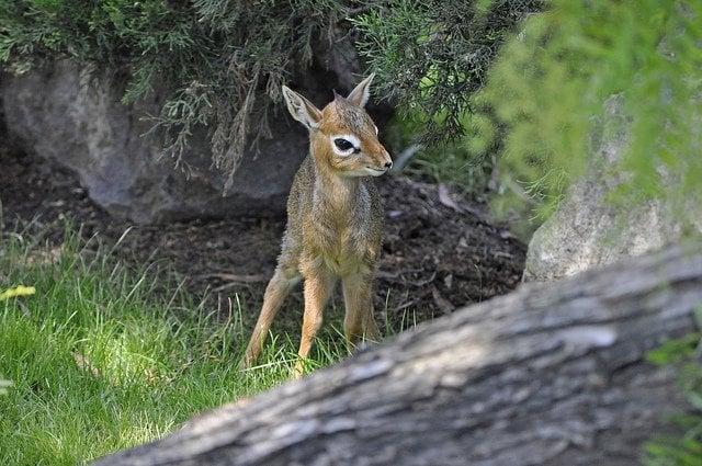 baby-antelope