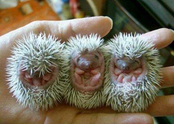 baby-hedgehogs