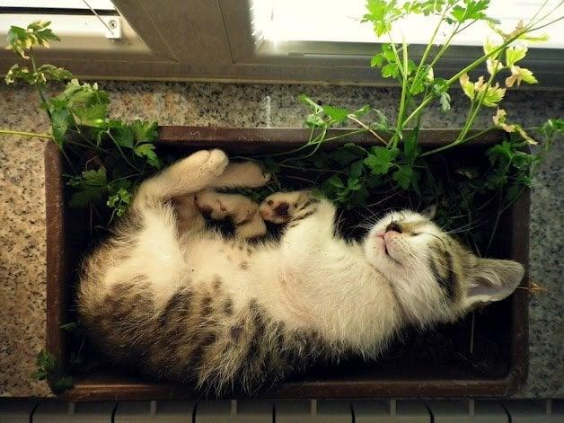kitten-sleeping-in-a-herb-garden