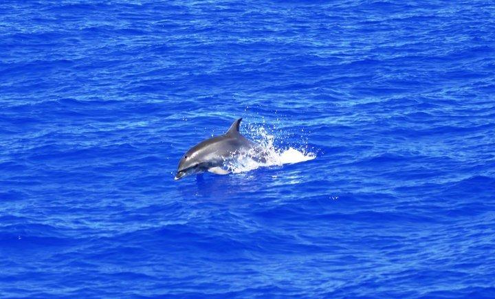 dolphin-in-sea