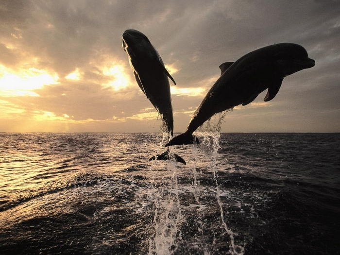 dolphins-at-sunset