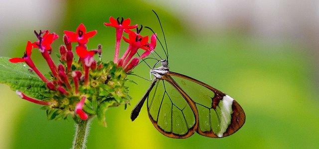 glasswing-butterfly