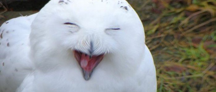 happy-owl