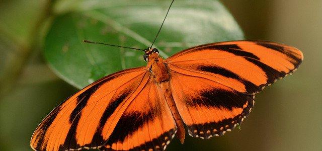 orange-tiger butterfly