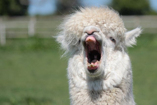 Alpaca Yawning | Animals Zone