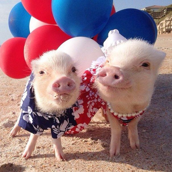 Piggies at the beach | Animals Zone