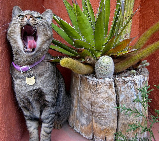 Cat Yawning | Animals Zone