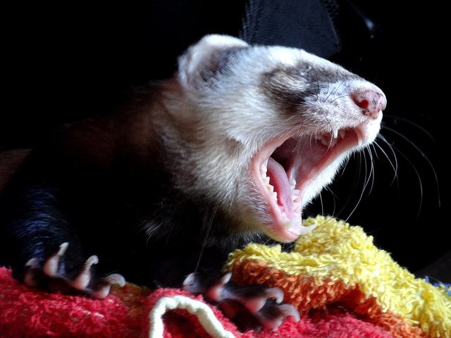 Ferret Yawning | Animals Zone