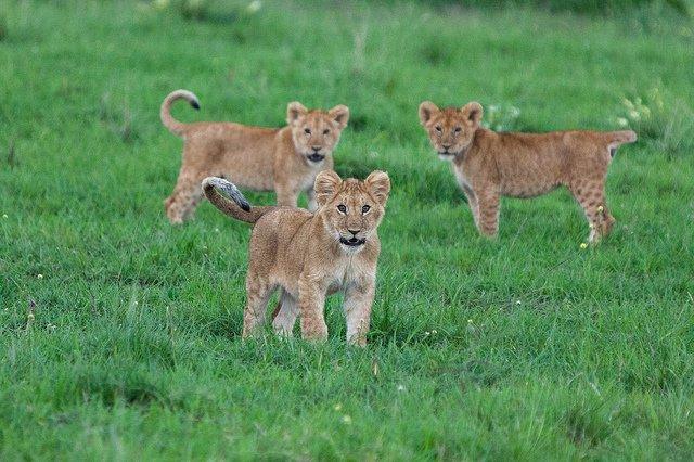 Baby lions animals zone