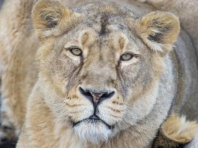 Lion eyes   Animals Zone