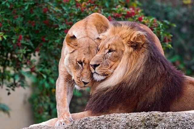 Lion snuggle   Animals Zone