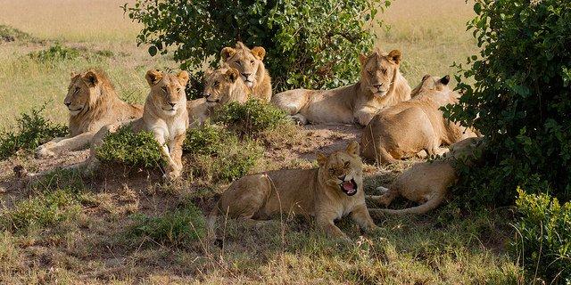 Lion pride   Animals Zone