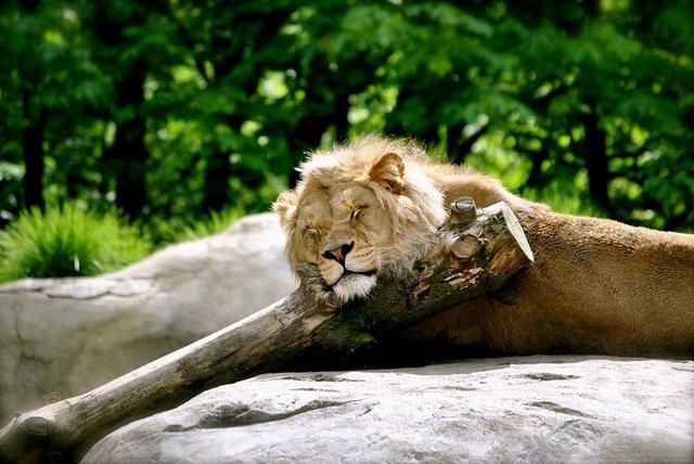 Sleeping lion   Animals Zone