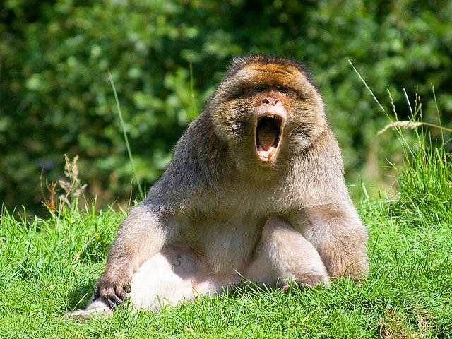 Monkey Yawning | Animals Zone