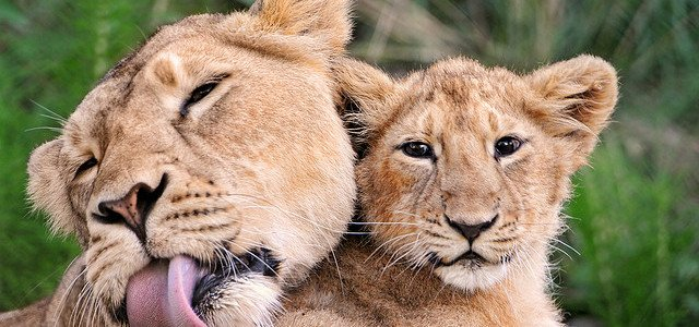 mother-lion-and-her-cub