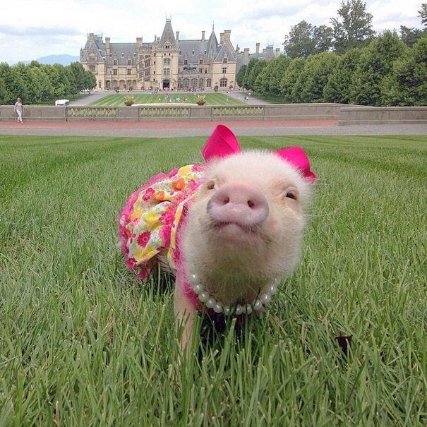 Piggy Princess | Animals Zone