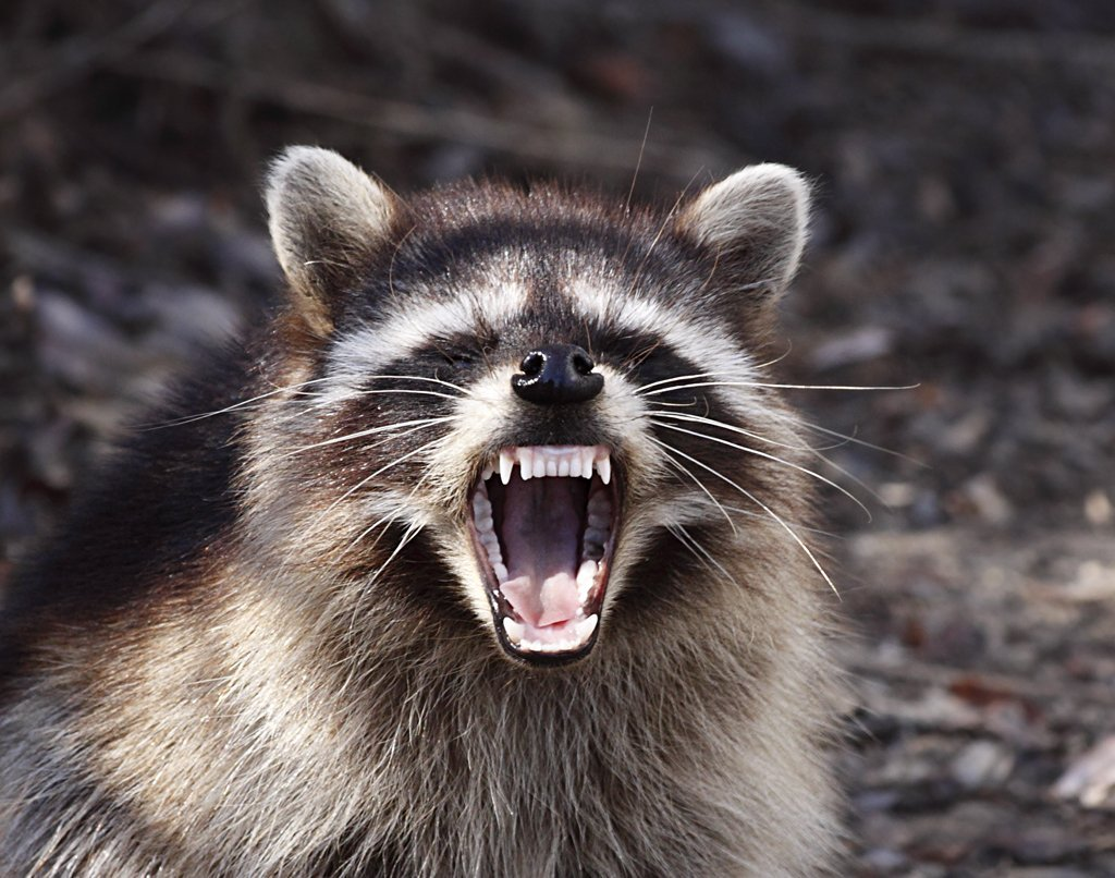 Raccoon Yawning | Animals Zone