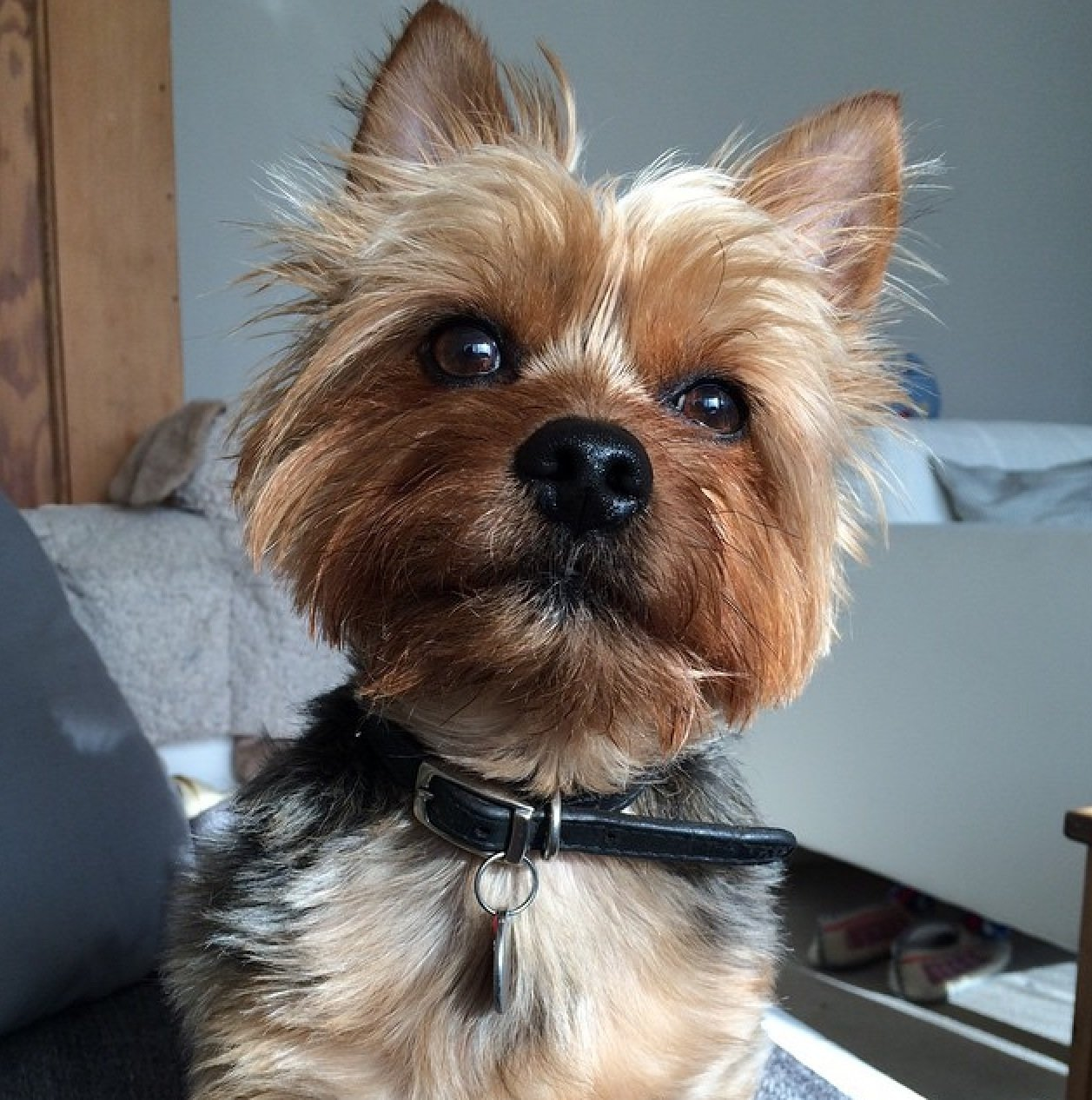 Rupert is an adorable little chap with a huge personality. He loves his ball, socks and treats. | Animals Zone