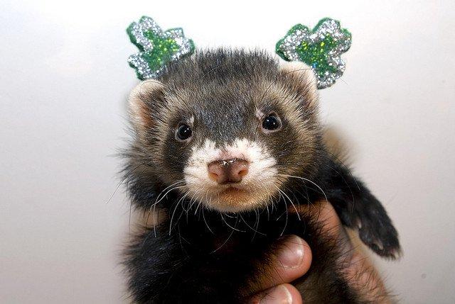 Happy St. Patrick's Day from Samson | Animals Zone