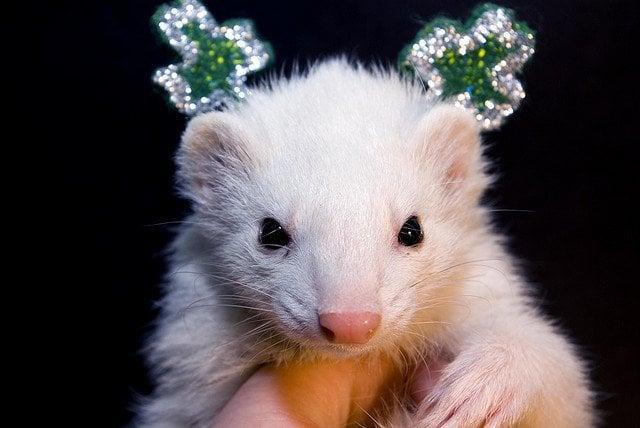 Happy St. Patick's Day ?rom Stinker! | Animals Zone
