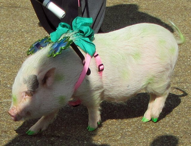 It's not just every day that you see a pig wearing green nail polish. | Animals Zone