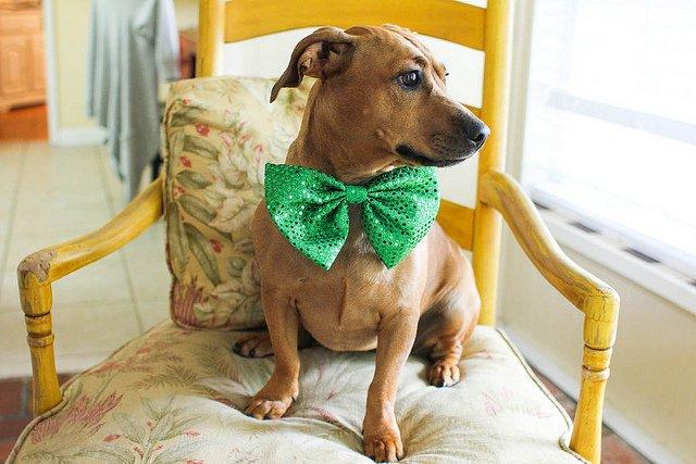Pets get Festive for Saint Patrick's Day (PHOTOS) | Animals Zone