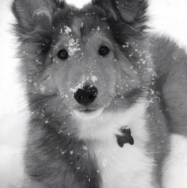 Graham is a 1 year old Sheltie. This was his first time in the snow. | Animals Zone