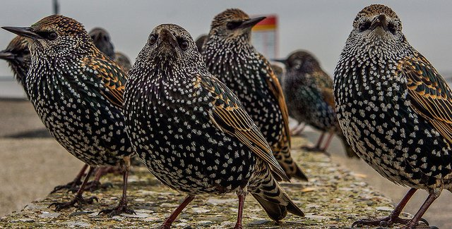 Little Starlings | Animals Zone