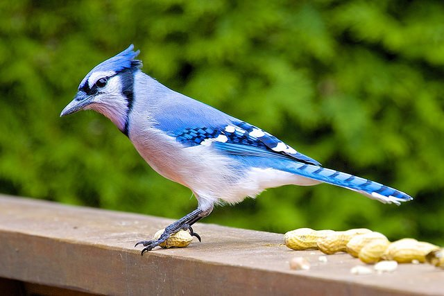 The Blue Jay (Cyanocitta cristata) | Animals Zone