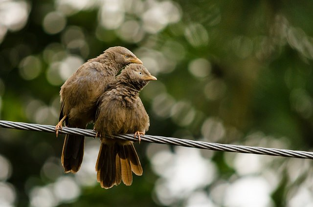 Yellow-billed Babbler (Turdoides affinis) | Animals Zone