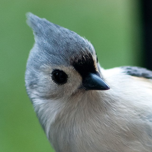 Tufted Titmouse | Animals Zone
