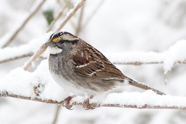 House Sparrow | Animals Zone