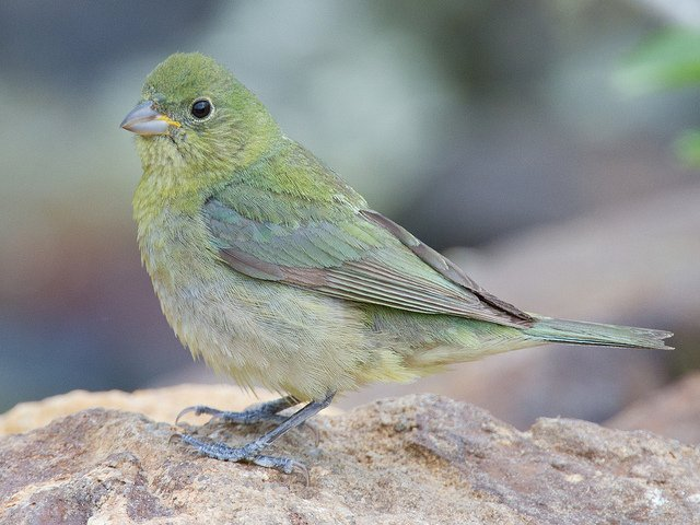 Painted Bunting | Animals Zone