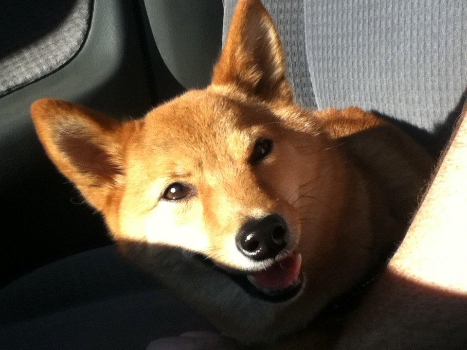 Smiling Taro, the Shiba Inu | Animals Zone