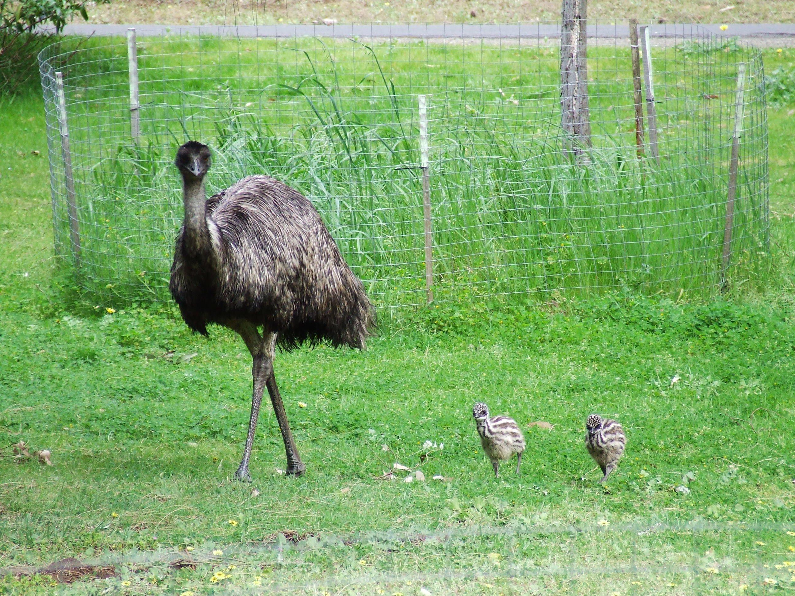 Emu | Animals Zone