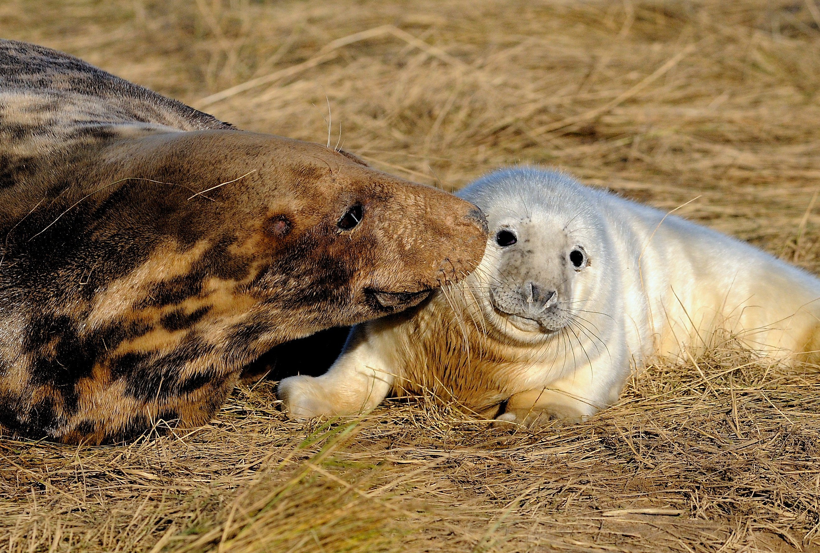 grey seal animals zone baby seals parents pups flickr coat camera