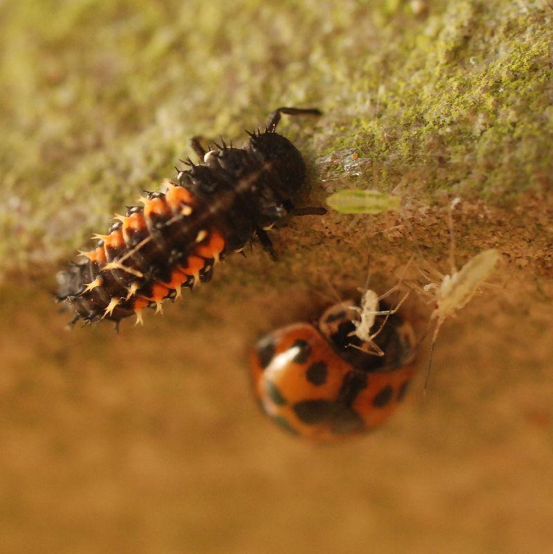 Ladybird Beetle | Animals Zone