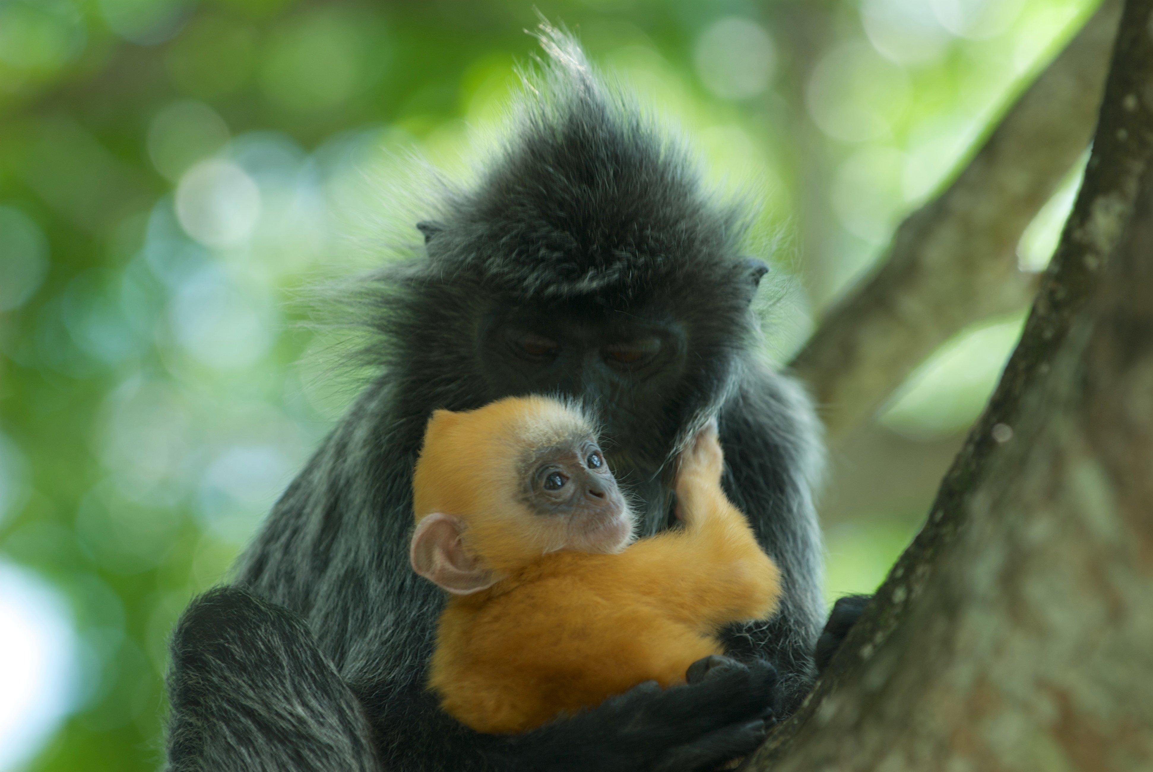 Silvered leaf monkey | Animals Zone