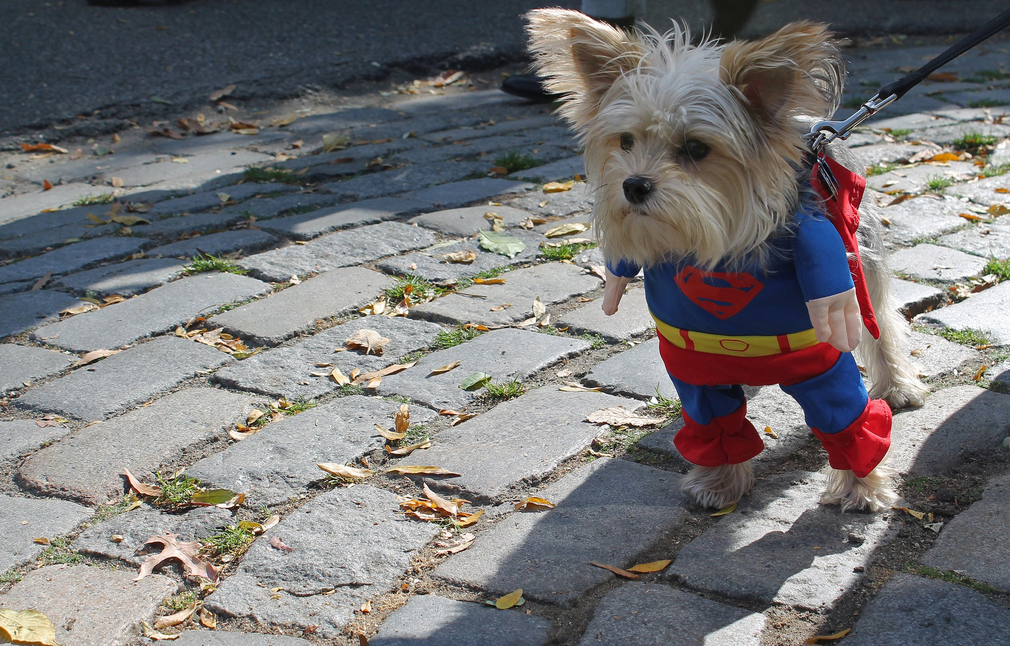Super Yorkie | Animals Zone