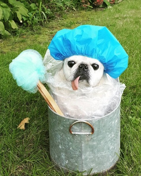 Scrub a' dub pug | Animals Zone