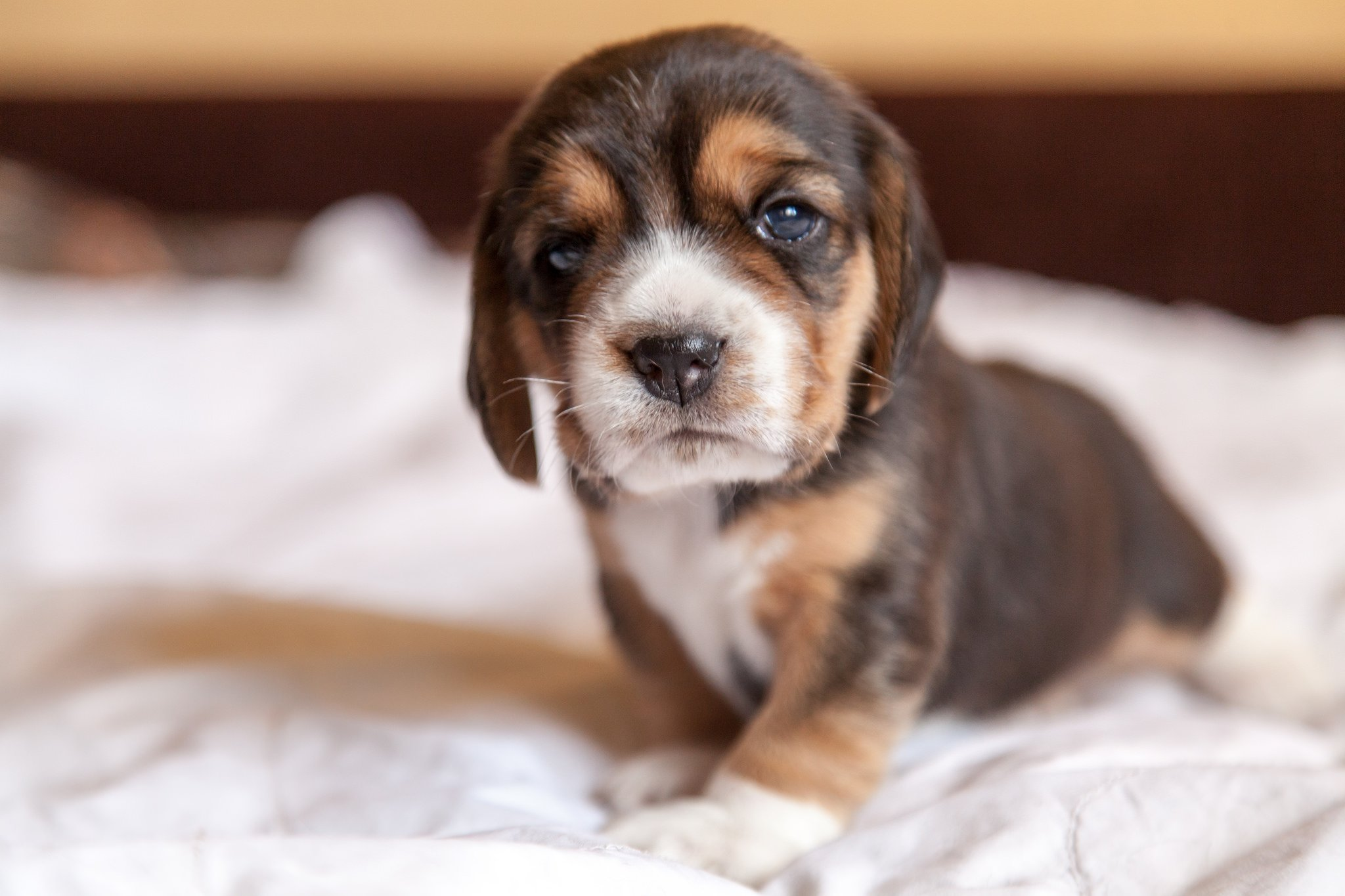 "The earliest breed called ""Beagle"" was a much smaller version of the #Beagles we know today 