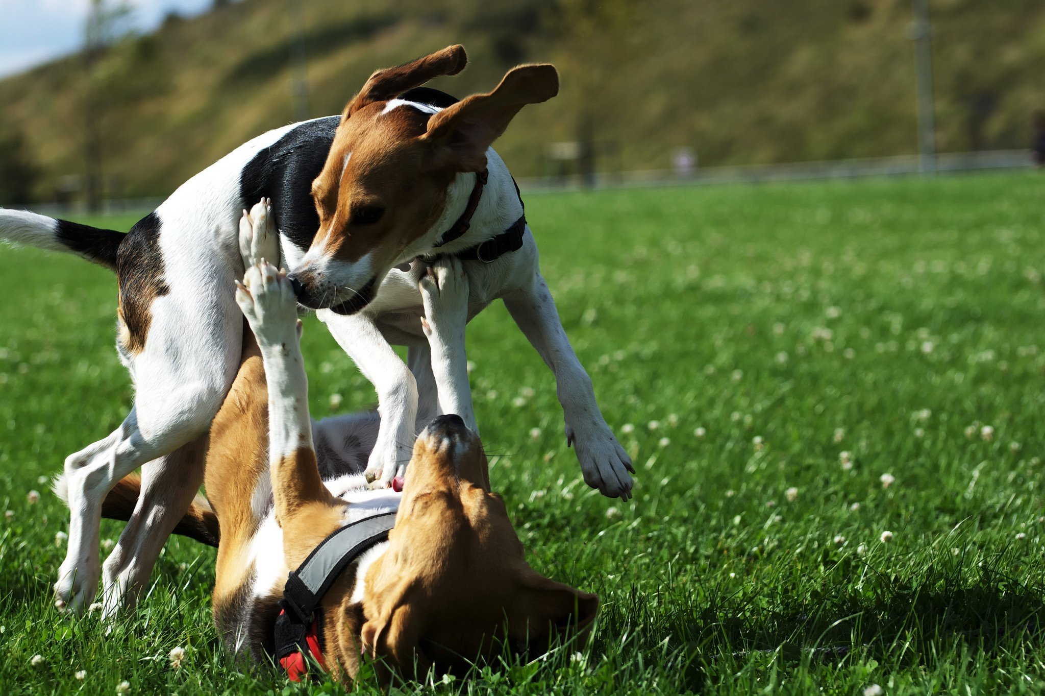 #Beagles are happiest when they can be with other dogs. | Animals Zone