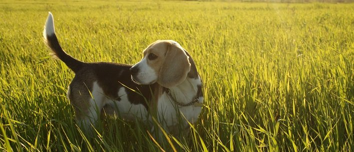 10 Fun & Interesting Facts about #Beagles | Animals Zone