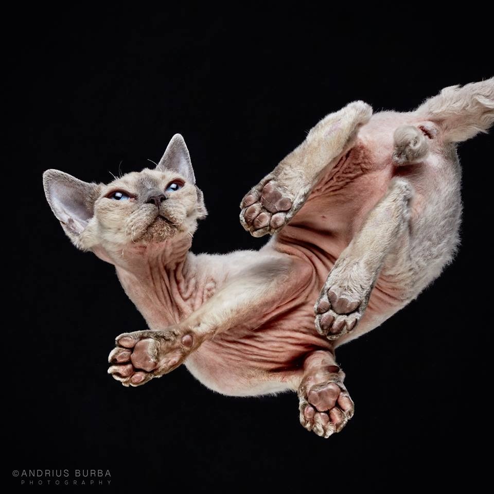 DEVON REX. A Photographer Captures Cats from Underneath. Click to read the full story. | Animals Zone