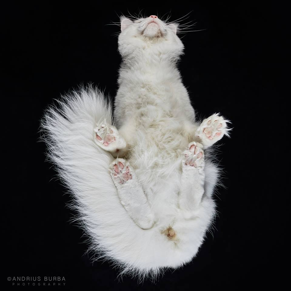 MAINE COON. A Photographer Captures Cats from Underneath. Click to read the full story. | Animals Zone