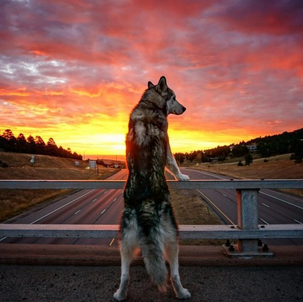 Colorado is a beautiful place to live, especially for a wolfdog, like Loki. Click to read the full story | Animals Zone