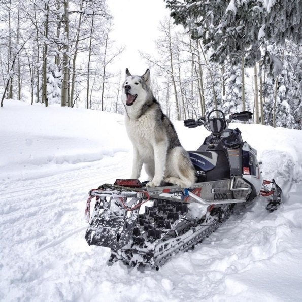 Loki, the wolfdog, is having fun in the snow! Click to read the full story | Animals Zone