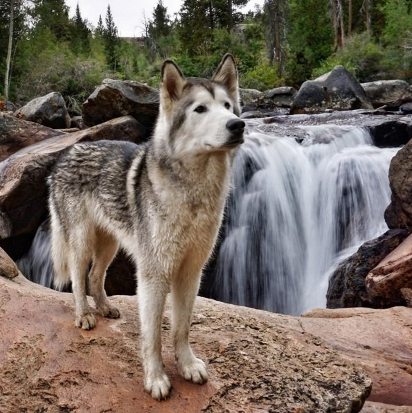 Loki is a hybrid of a Siberian husky, Malamute and Arctic Wolf. Click to read the full story | Animals Zone