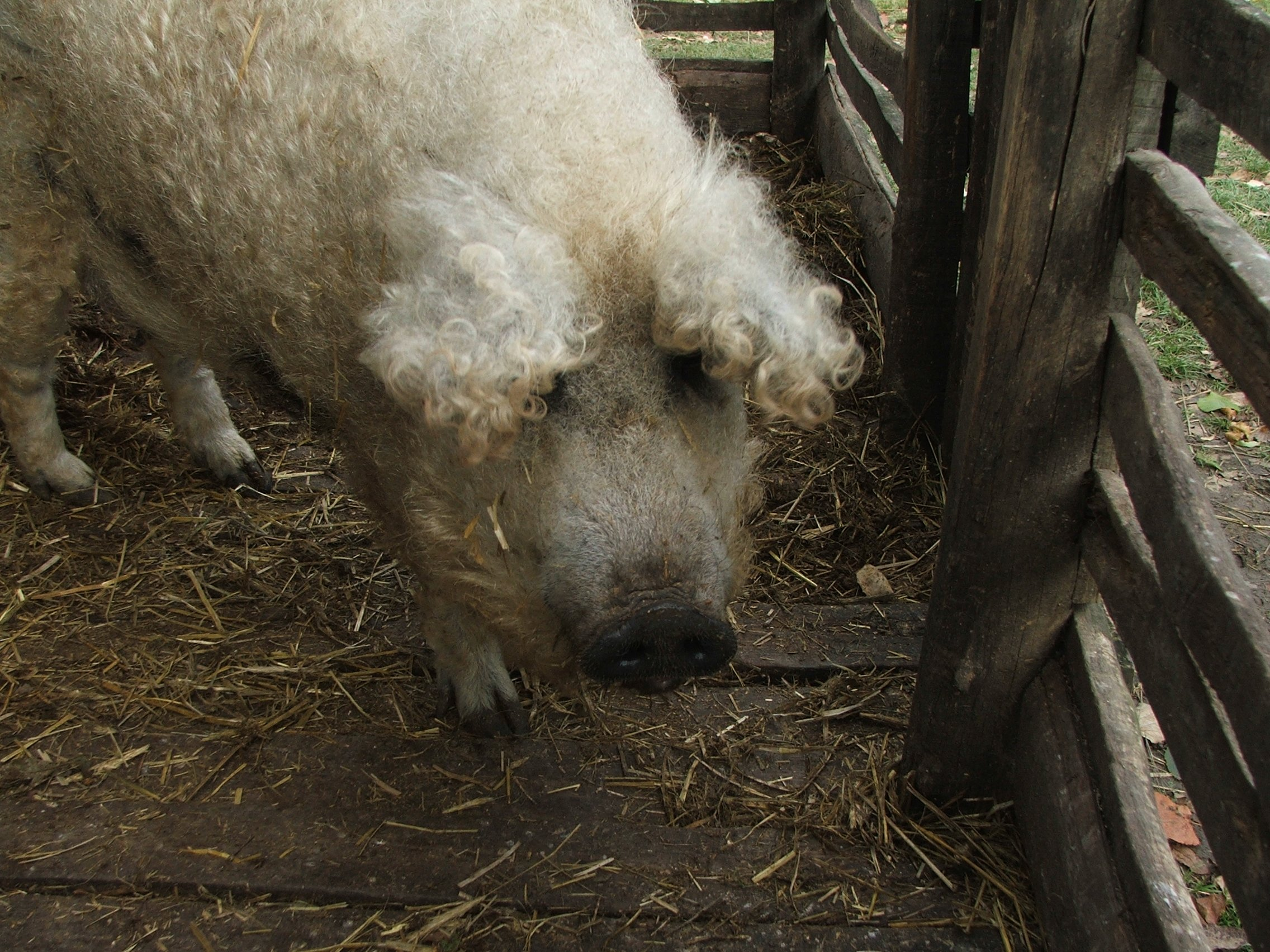 Mangalica, curly-haired pigs | Animals Zone