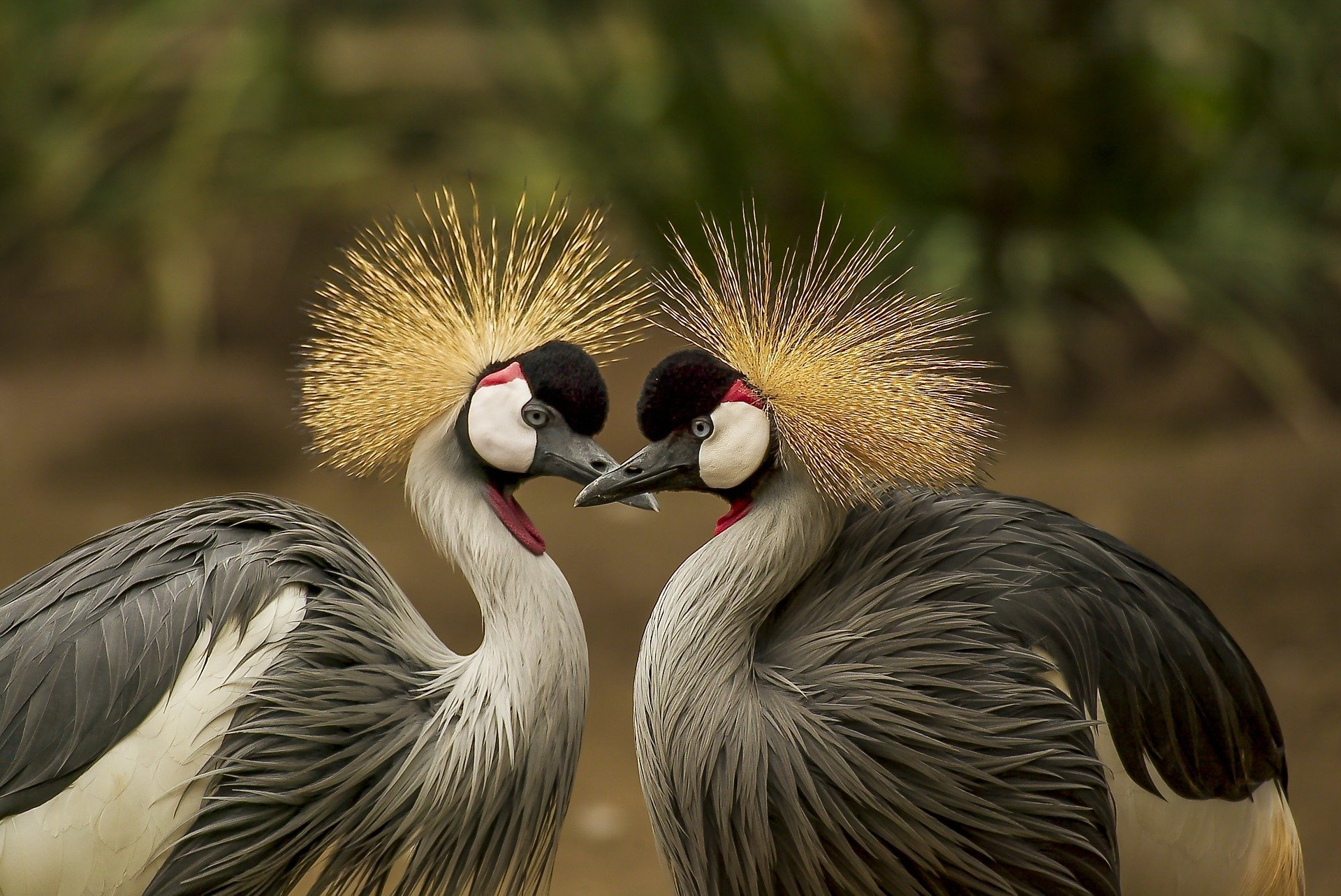 Grey Crowned Crane couple. Click to see more of Adorable Animal Pictures for Valentine's Day | Animals Zone